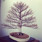 The National Bonsai and Penjing Collection of Australia, Canberra